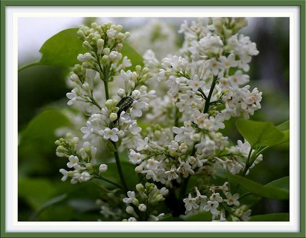 Syringa vulgaris 'Alba' - Trees and Shrubs