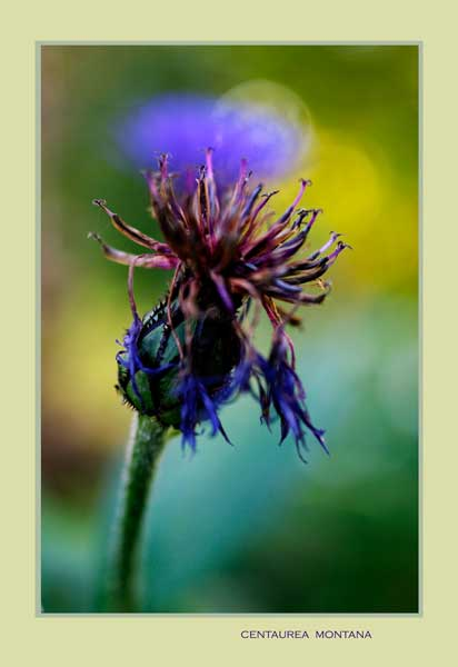 Centaurea montana 3 - Garden perennials