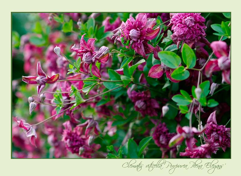Clematis viticella 'Purpurea Plena Elegans' - Garden perennials