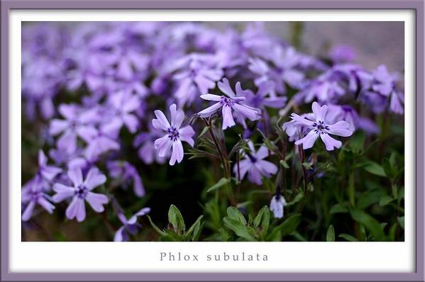Phlox subulata - Garden perennials