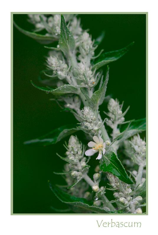 Verbascum lychnitis - Garden perennials