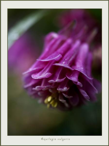 Aquilegia vulgaris 2 - Garden perennials