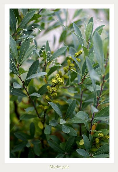 Myrica gale - Trees and Shrubs