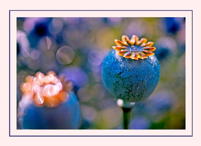 Opium and Eryngium - Still Life