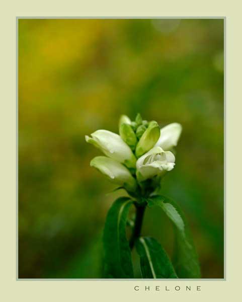 Chelone - Garden perennials