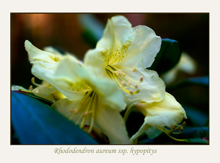 Rhododendron aureum ssp. hypopitys - Trees and Shrubs