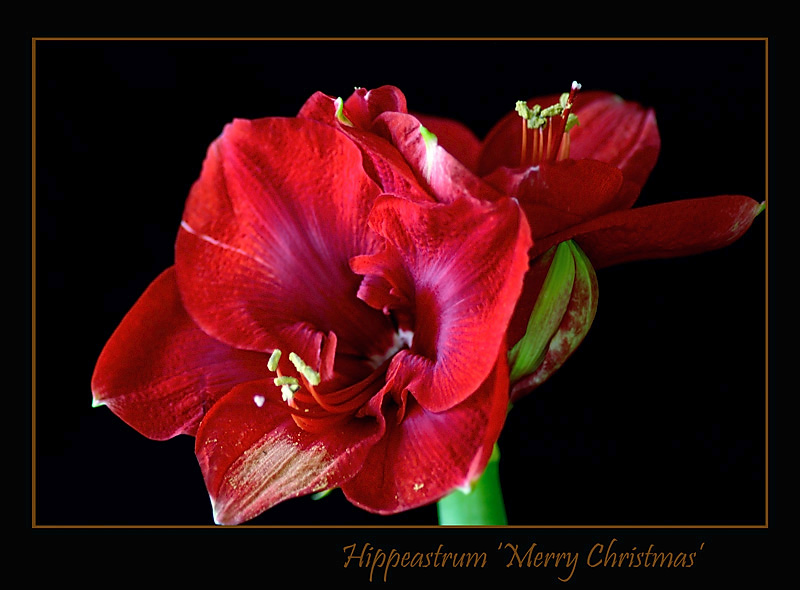 Hippeastrum 'Merry Christmas' - Windowsill Garden