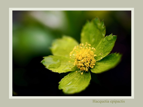 Hacquetia epipactis - Garden perennials