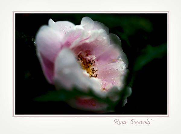 Rosa  'Paavola' - Roses
