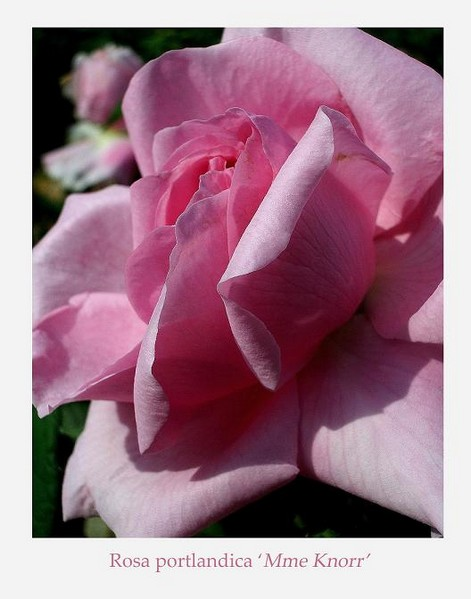 Rosa 'Mme Knorr' 2 - Roses