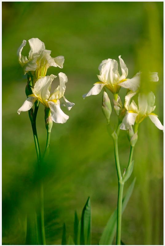 Iris germanica 'Flavescens' 1 - Garden perennials