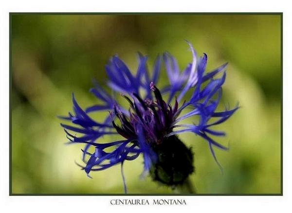 Centaurea montana - Garden perennials