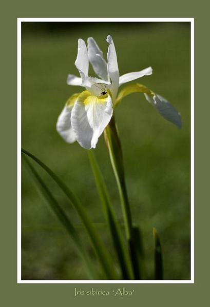 Iris sibirica 'Alba' - Garden perennials