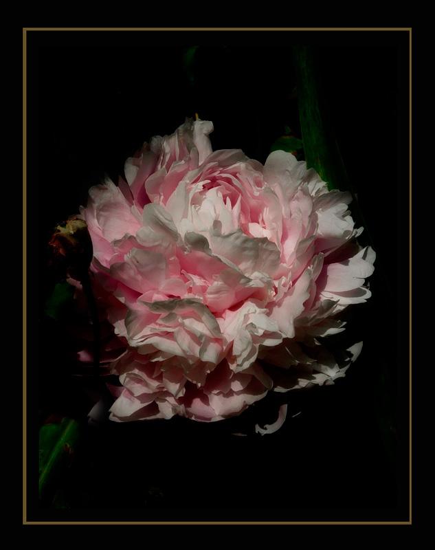 A Peony and A Poppy - Still Life