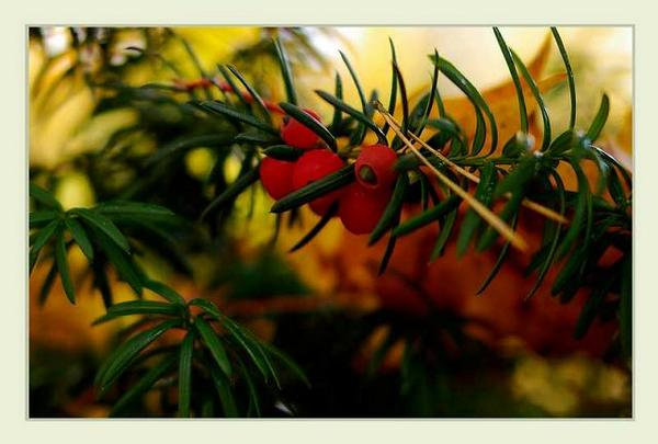 Taxus  media - Trees and Shrubs