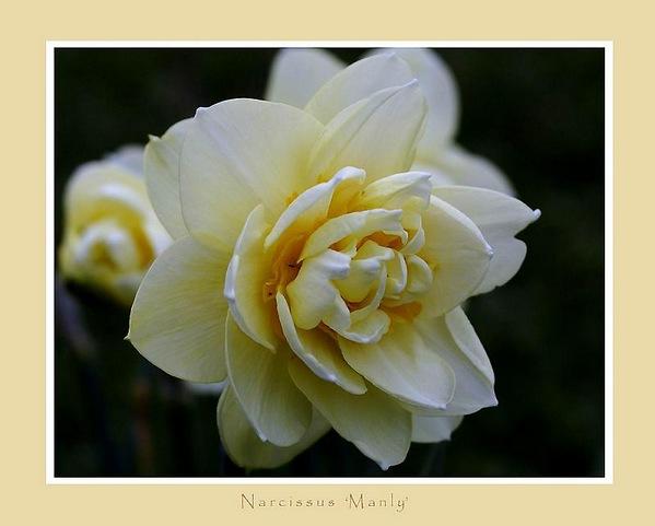 Narcissus 'Manly' - Garden perennials