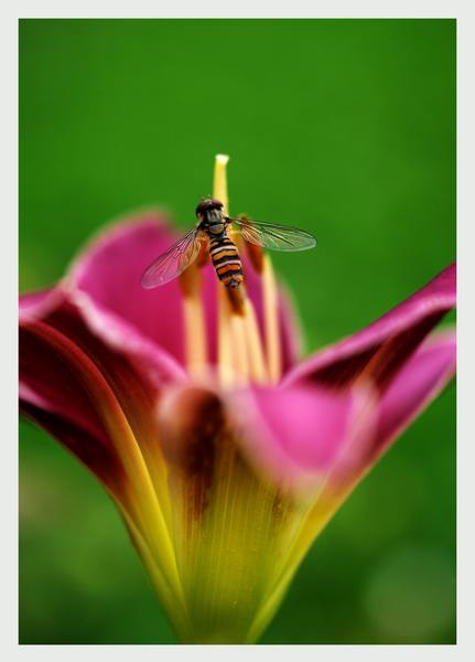 Helophilus trivittatus - Fauna