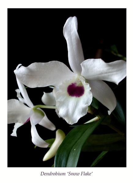 Dendrobium 'Snow Flake' 2 - Orchids