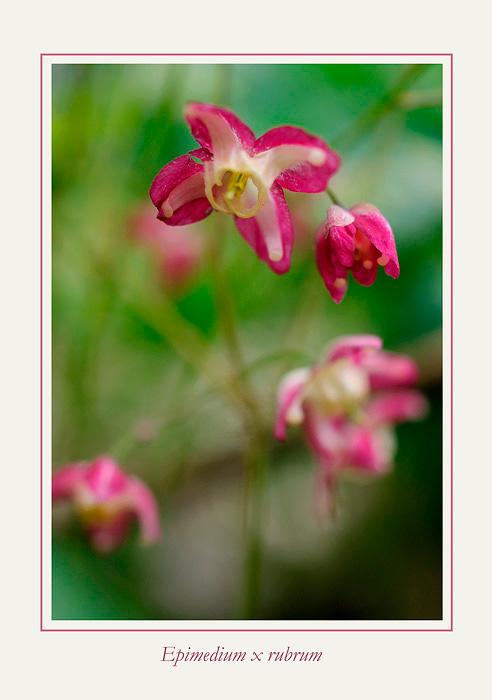 Epimedium x rubrum - Garden perennials