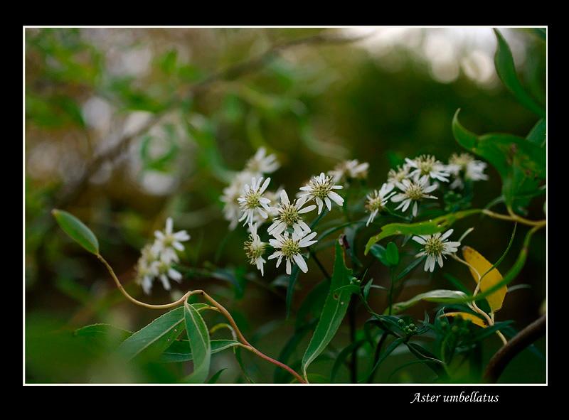 Aster umbellatus - Garden perennials