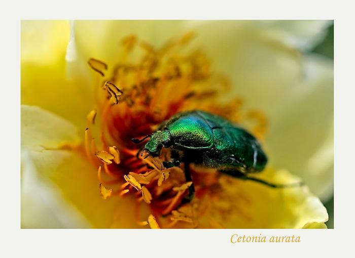 Cetonia aurata 3 - Fauna