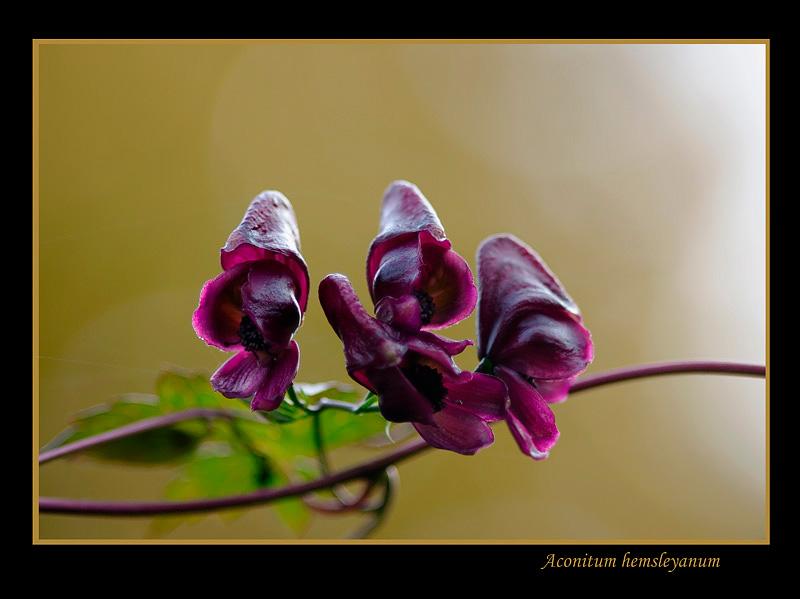 Aconitum hemsleyanum 1 - Garden perennials