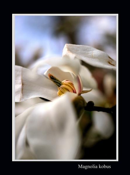 Magnolia kobus - Trees and Shrubs