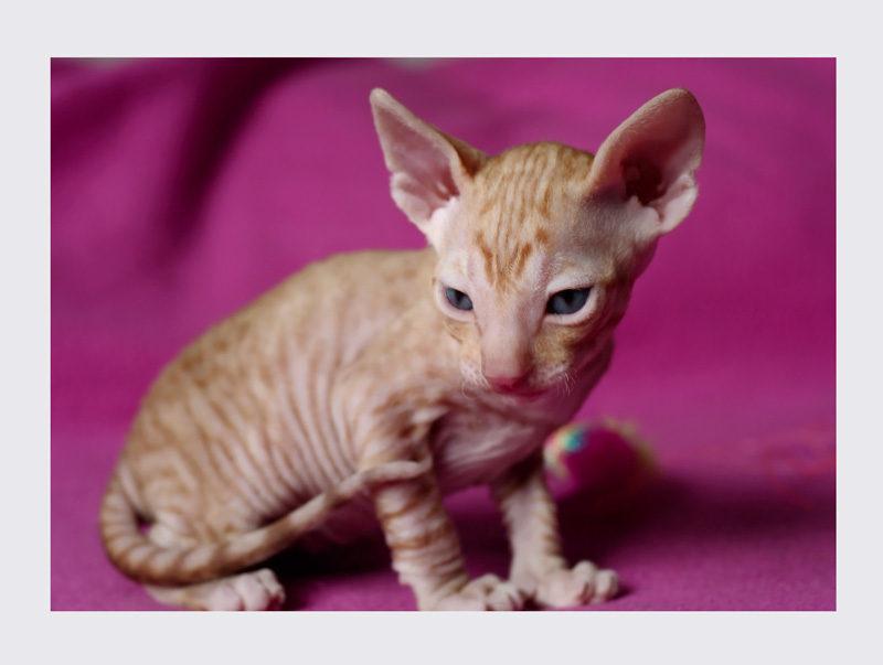 Dexter 3 weeks - 3 - Mimmi's kittens