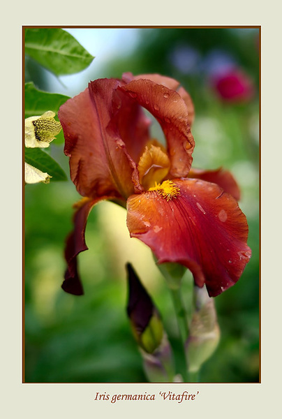 Iris germanica 'Vitafire' - Garden perennials