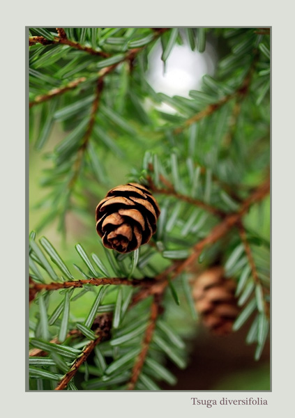 Tsuga diversifolia 2 - Trees and Shrubs