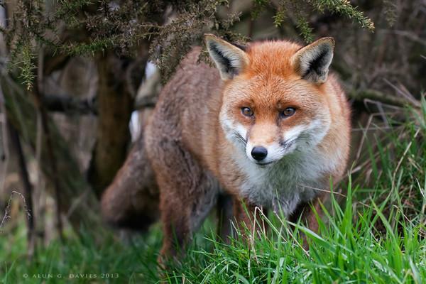 Cadno_MG_7206 - Natur Wyllt / Wildlife