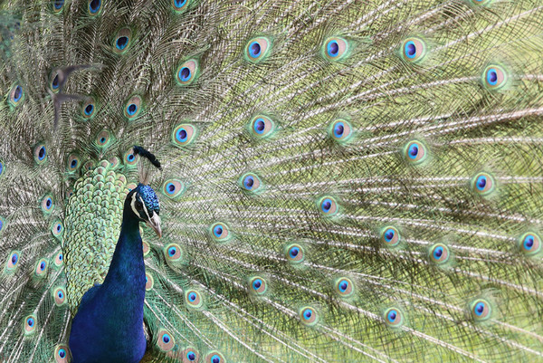 Peacock - Natur Wyllt / Wildlife
