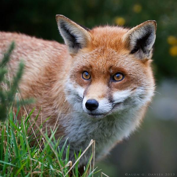 Llwynog - Natur Wyllt / Wildlife