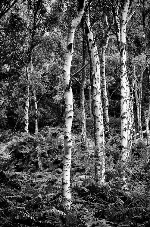 Lumsdale Silver Birch - Black and White