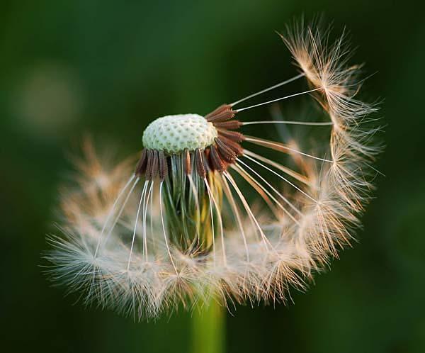 Dandelion seed head - Flowers