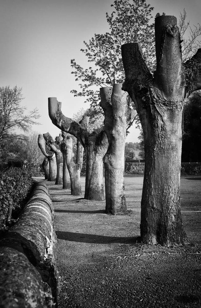 Bakewell Pollarded Trees - Black and White