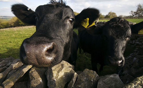 Inquisitive cows - Sheep  and other furry animals