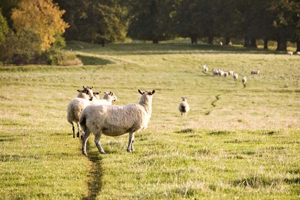 Sheep Chatsworth Park - Sheep  and other furry animals