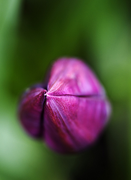 Tulip - Macro/Close up