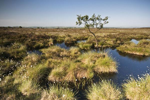 Beeley Moor Cotton Grass 6 - Beeley Moor