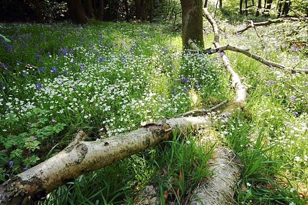 Bluebells and Stitchwort - Flowers