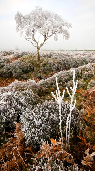 Beeley Moor Tree Frost 3 - Winter Landscapes