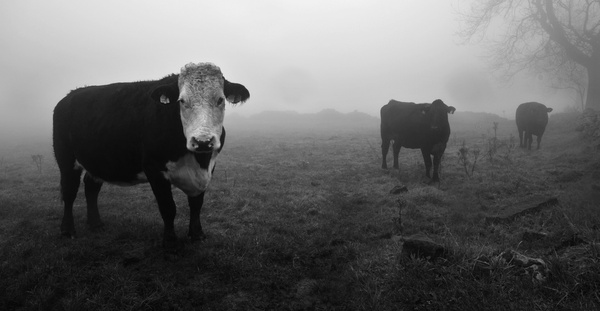 Cows in the mist 2 - Sheep  and other furry animals
