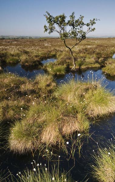 Beeley Moor Cotton Grass 7 - Beeley Moor