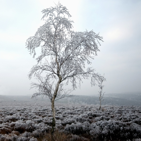 Beeley Moor Tree Frost 2 - Winter Landscapes