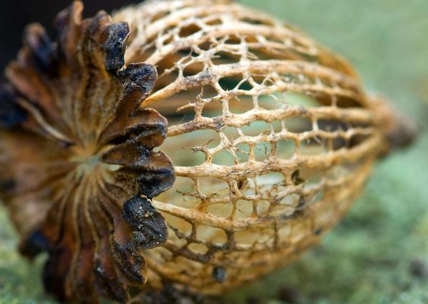 Seedhead - Macro/Close up