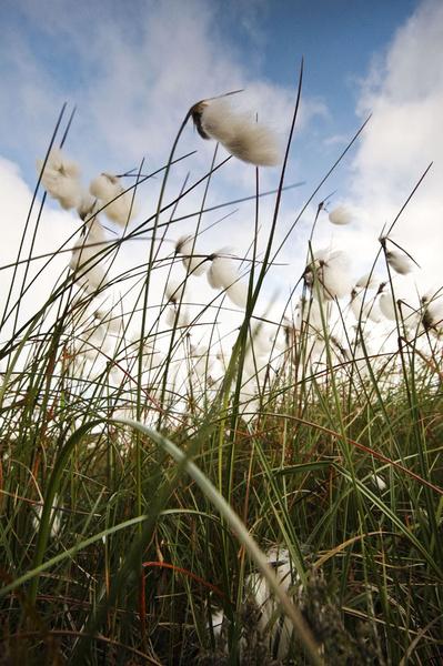 Beeley Moor Cotton Grass 2 - Beeley Moor