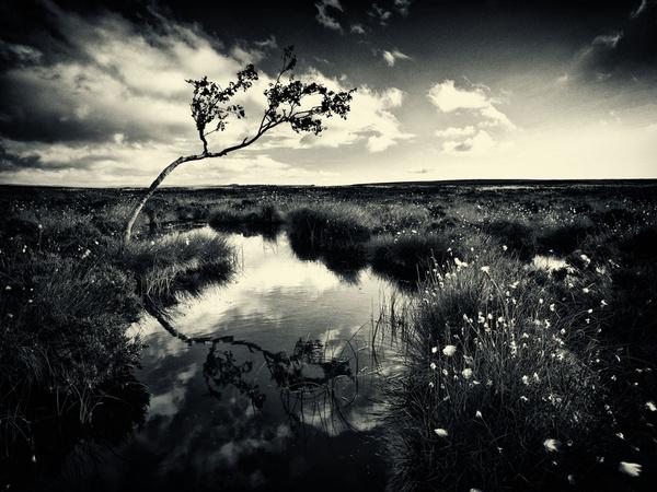 Lone Tree - Black and White
