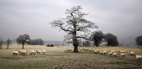 Sheep in Chatsworth Park - Sheep  and other furry animals