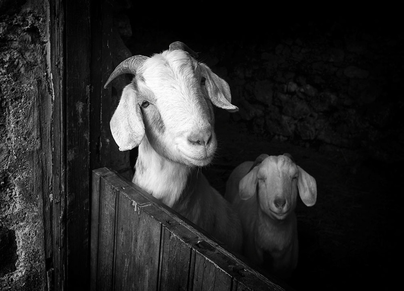 Smiling Goats - Sheep  and other furry animals